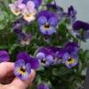 """Taschenspiegel """"Viola"""""""